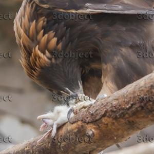 Орел-могильник, Eagle