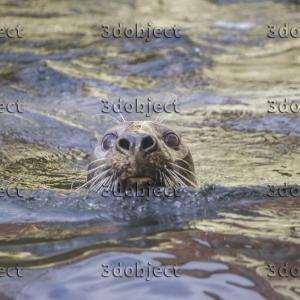 серый тюлень, grey seal
