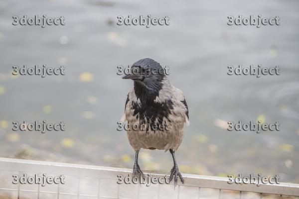 Серая ворона, crow