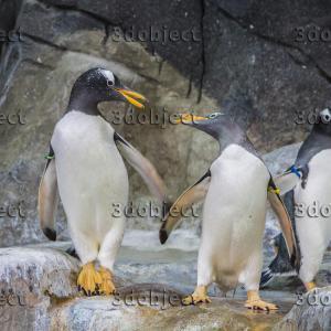 Субантарктический пингвин, gentoo penguin