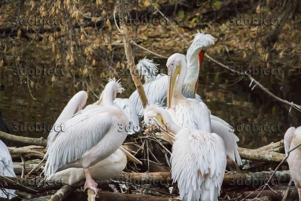 группа розовых и кудрявых пеликанов, great white & dalmatian pelicans