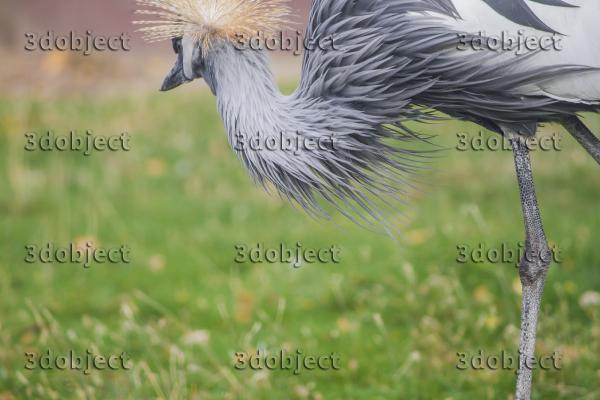 Восточный венценосный журавль, grey crowned crane