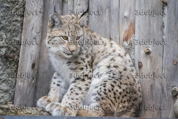 рысь, lynx, детеныш