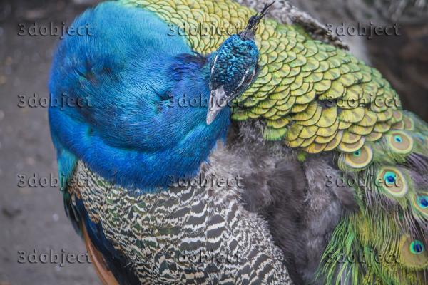 павлин, peafowl