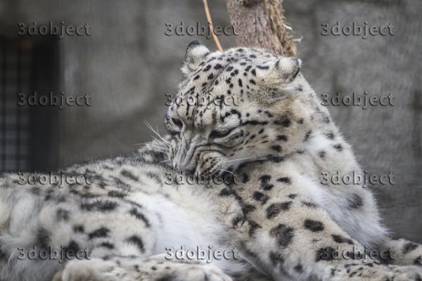 Снежный барс, леопард, ирбис, чистит шерстку