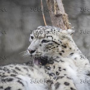 Снежный барс, леопард, ирбис, умывается
