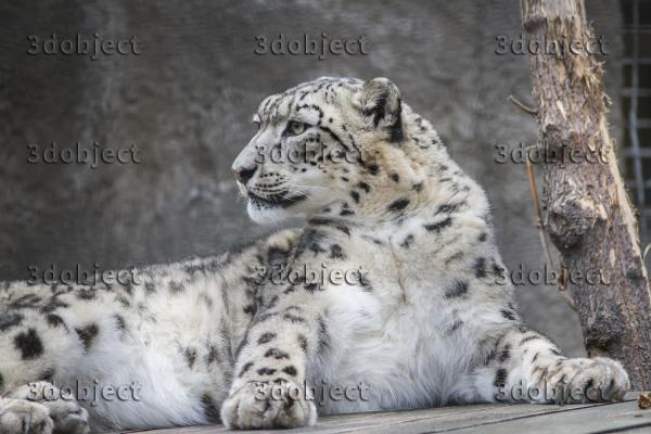 Снежный барс, леопард, ирбис, гордый
