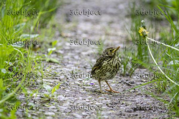 Певчий дрозд птенец