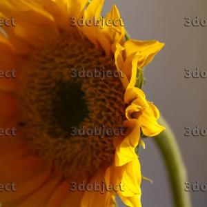 Подсолнух фото цветов, крупный план