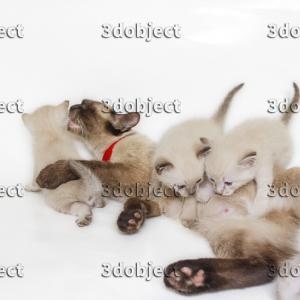 Тайская кошка с котятами, кормление