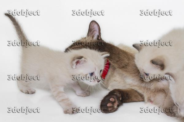 Тайская кошка с котятами, моет котенка