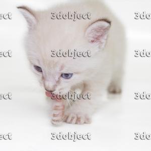 Тайский котенок, лижет лапу