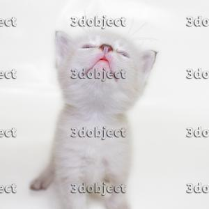 Котенок тайской породы, фото, смотрит вверх