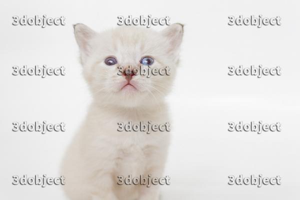 Котенок тайской породы, разноглазый