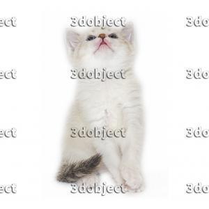 Британский + тайский котёнок, смотрит вверх