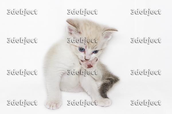 Британский+тайский котёнок, задумчивый