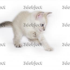 Британский+тайский котёнок, игривый