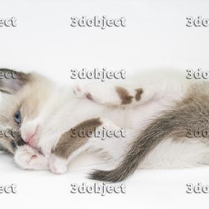 Тайский котенок, лежит на боку