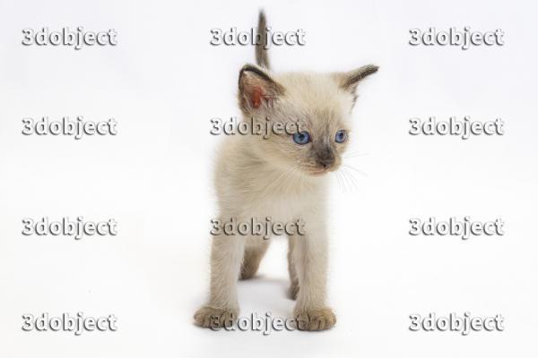 Тайский котенок, голубоглазый