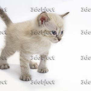 Милый тайский котенок фото